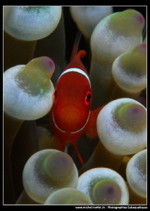 Baby Clown Fish... by Michel Lonfat 